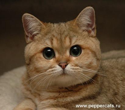 Британская кошка золотая шиншилла helia