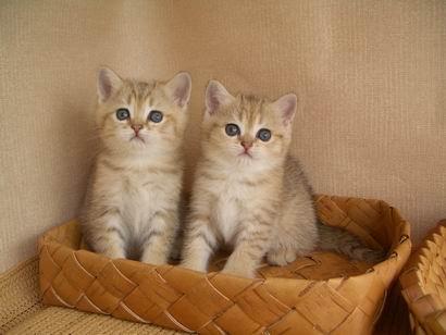 Британские кошки золотые шиншиллы