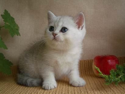 Британская кошка kimberly peppercats котенок 1
