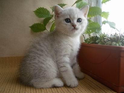 Британская серебристая шиншилла кот
