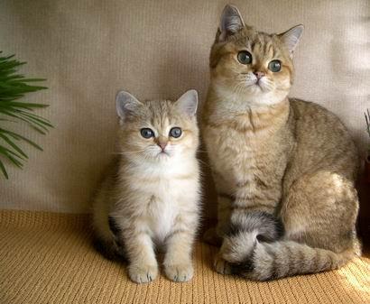 Британские кошки золотые шиншиллы khan