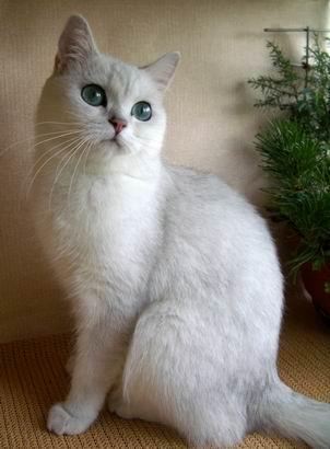 Бритаская кошка серебристая шиншилла