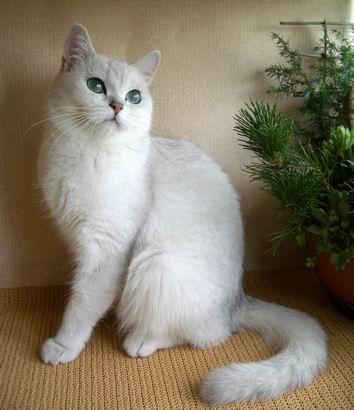Британская кошка шиншилла petunia snow queen