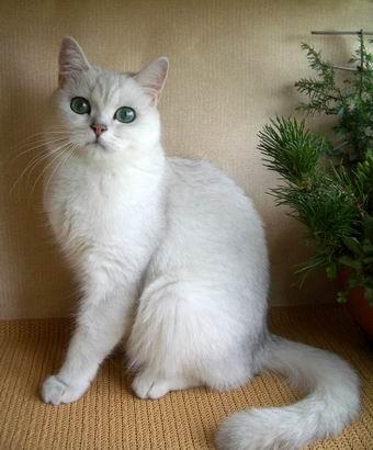 Британская короткошерстная кошка petunia