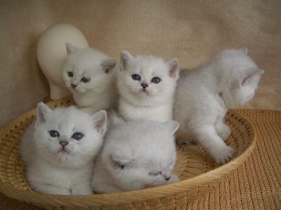 Кошки шиншиллы котята вязки фото
