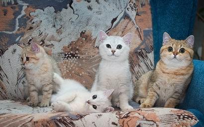 Британские кошки шиншиллы котята