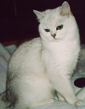 British shorthaired silver shaded cat